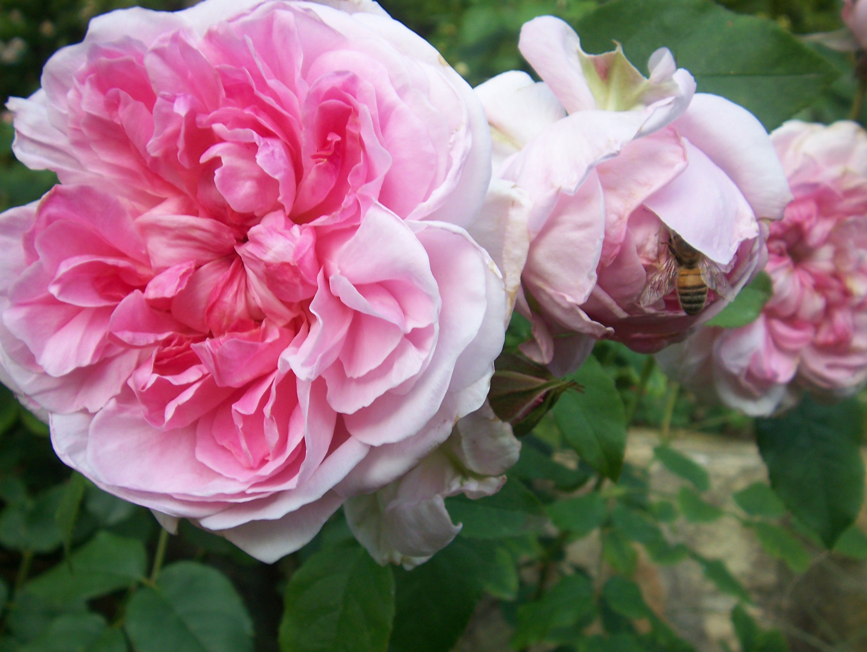pink rose & bee, slimpaley