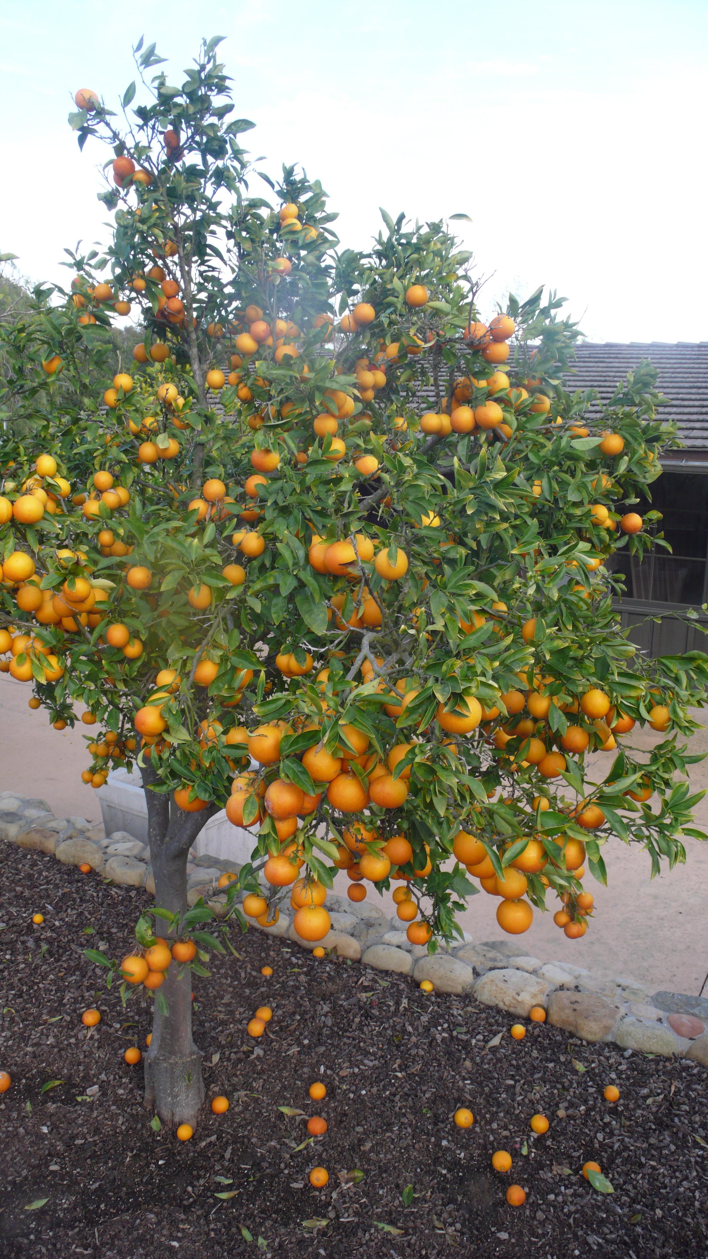 orange tree, slimpaley