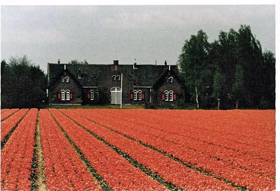 tulips Holland slimpaley.com