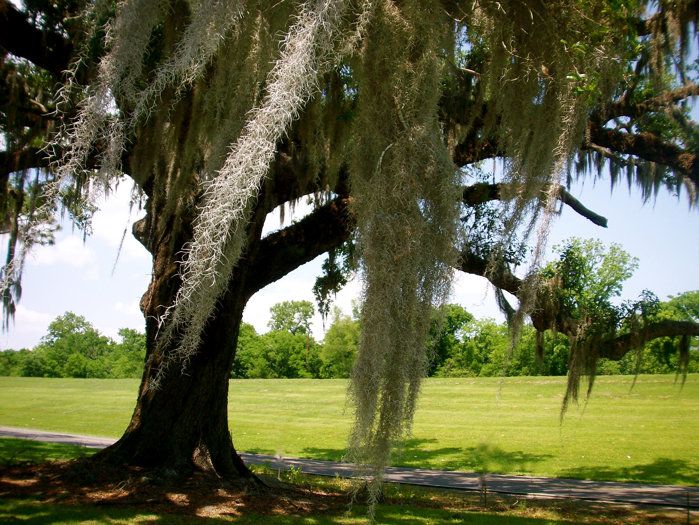 Spanish Moss, Slim Paley