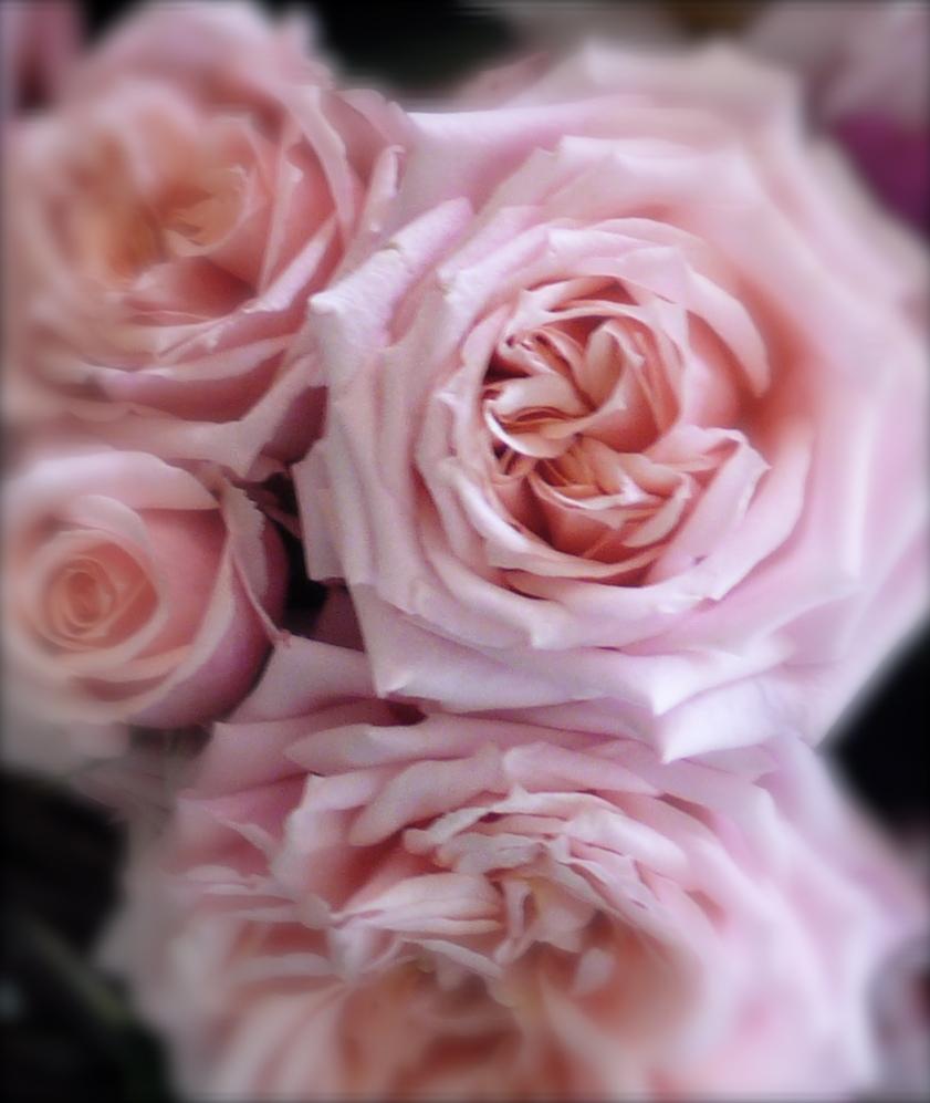 pink roses, slimpaley.com
