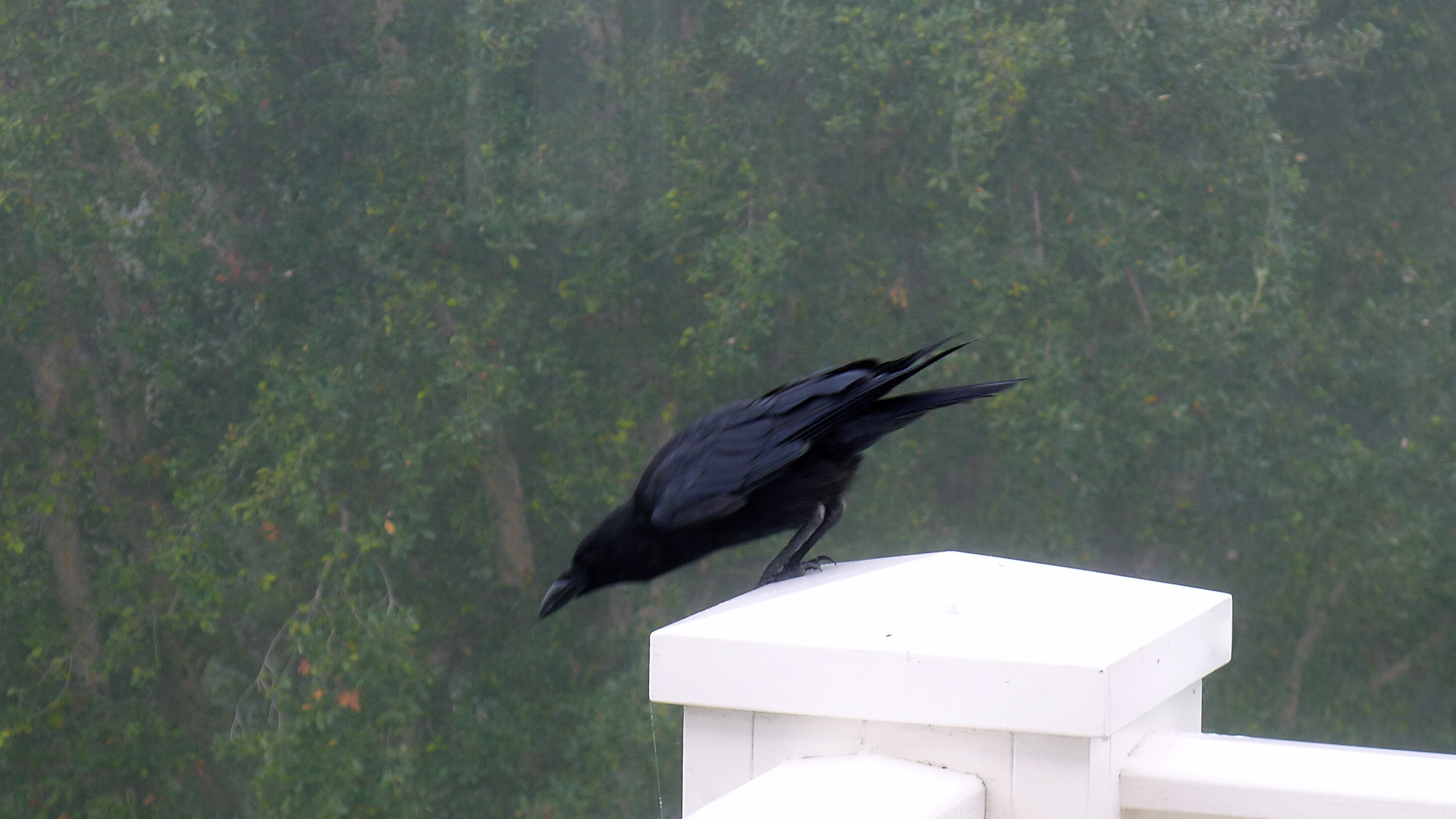black crow, slimpaley.com