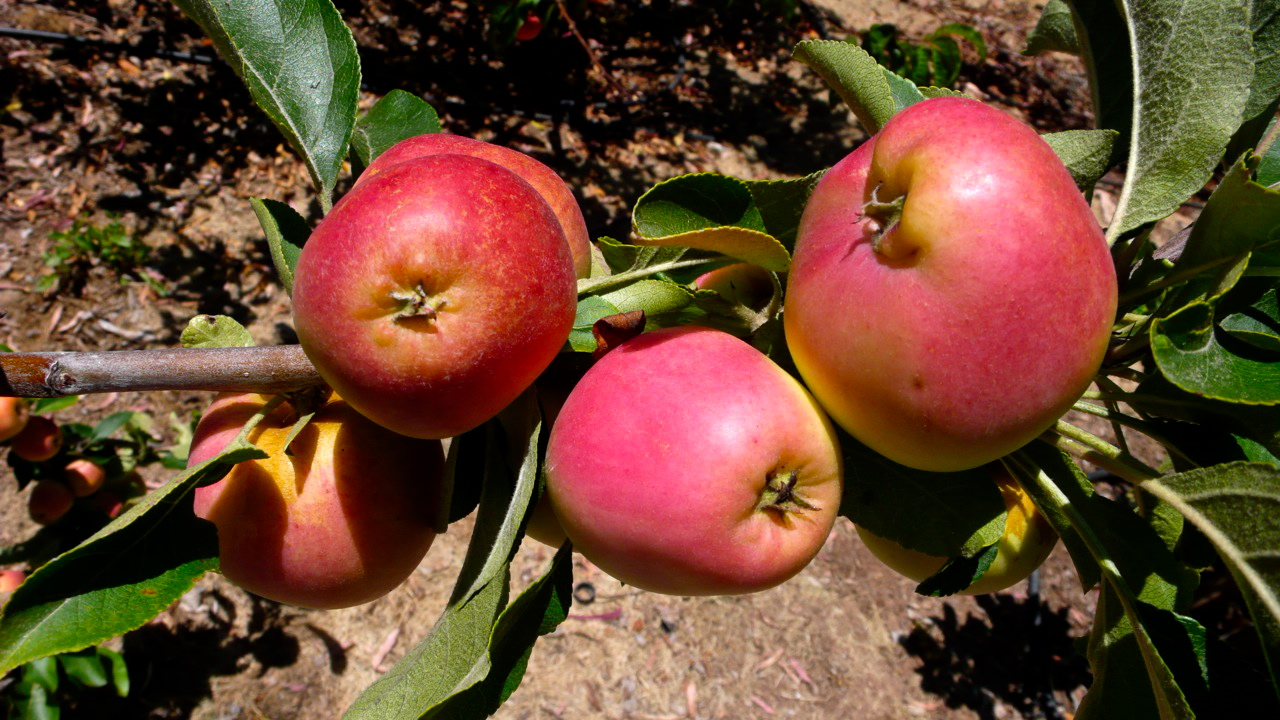 beautiful apples from my garden, Slim Paley