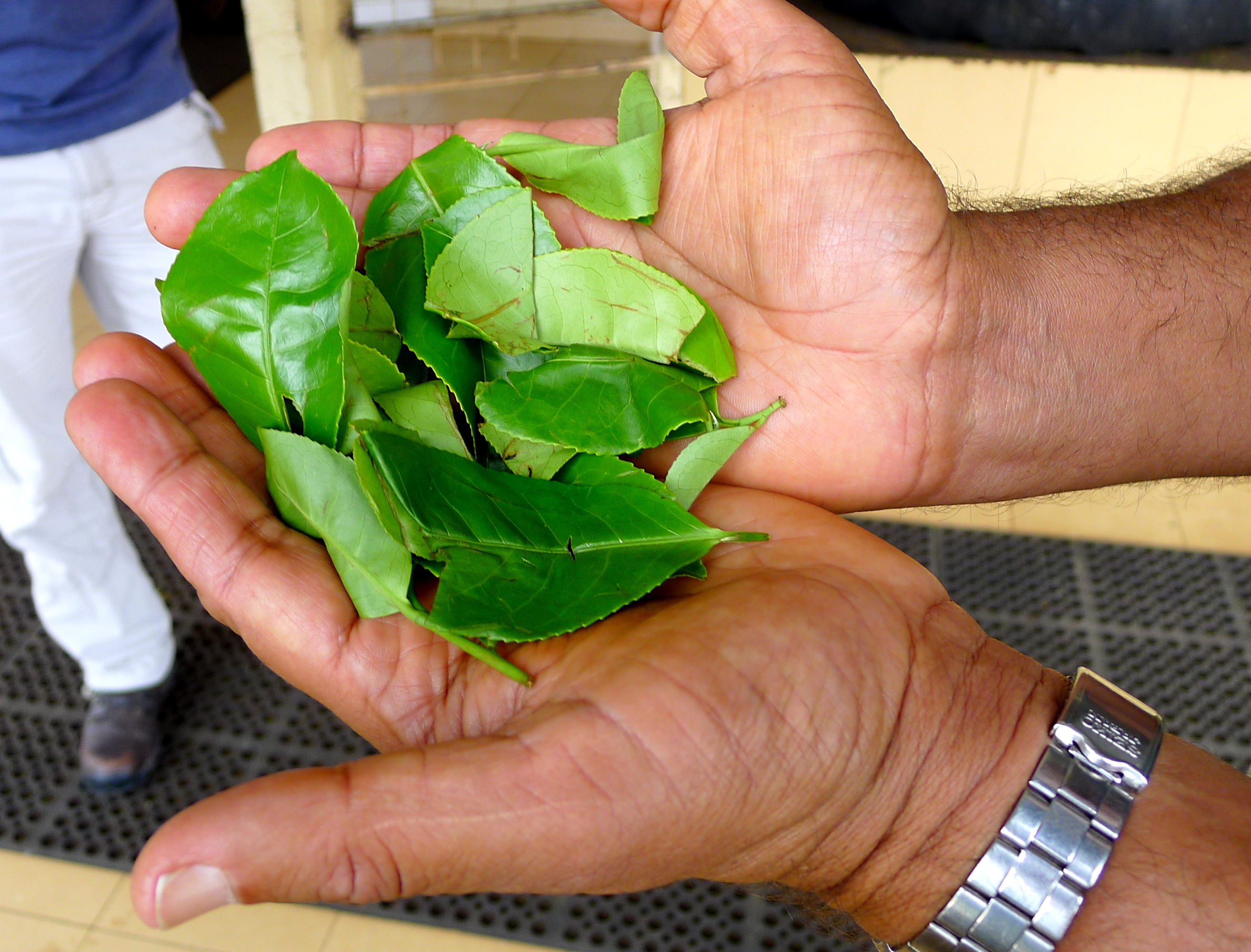 freshly picked tea leaves