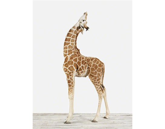 Baby Animal Pictures_Baby Giraffe02