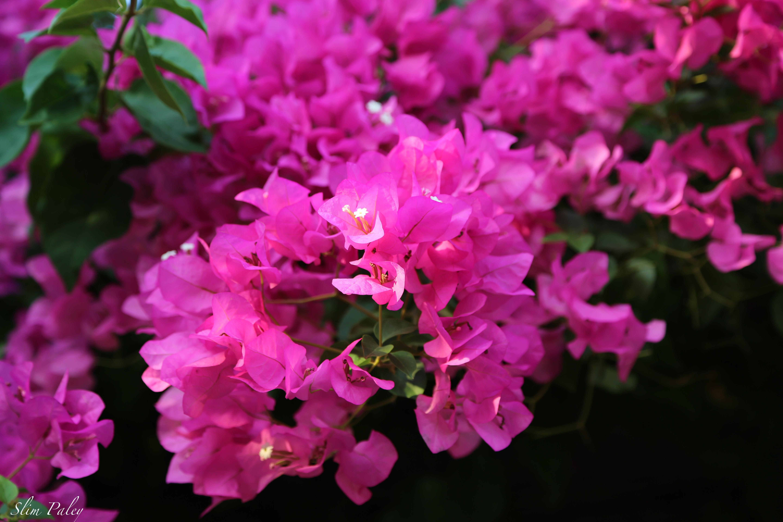 pink bouganvilea