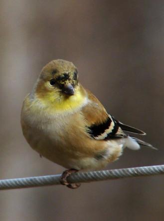 American_goldfinch_winter_f