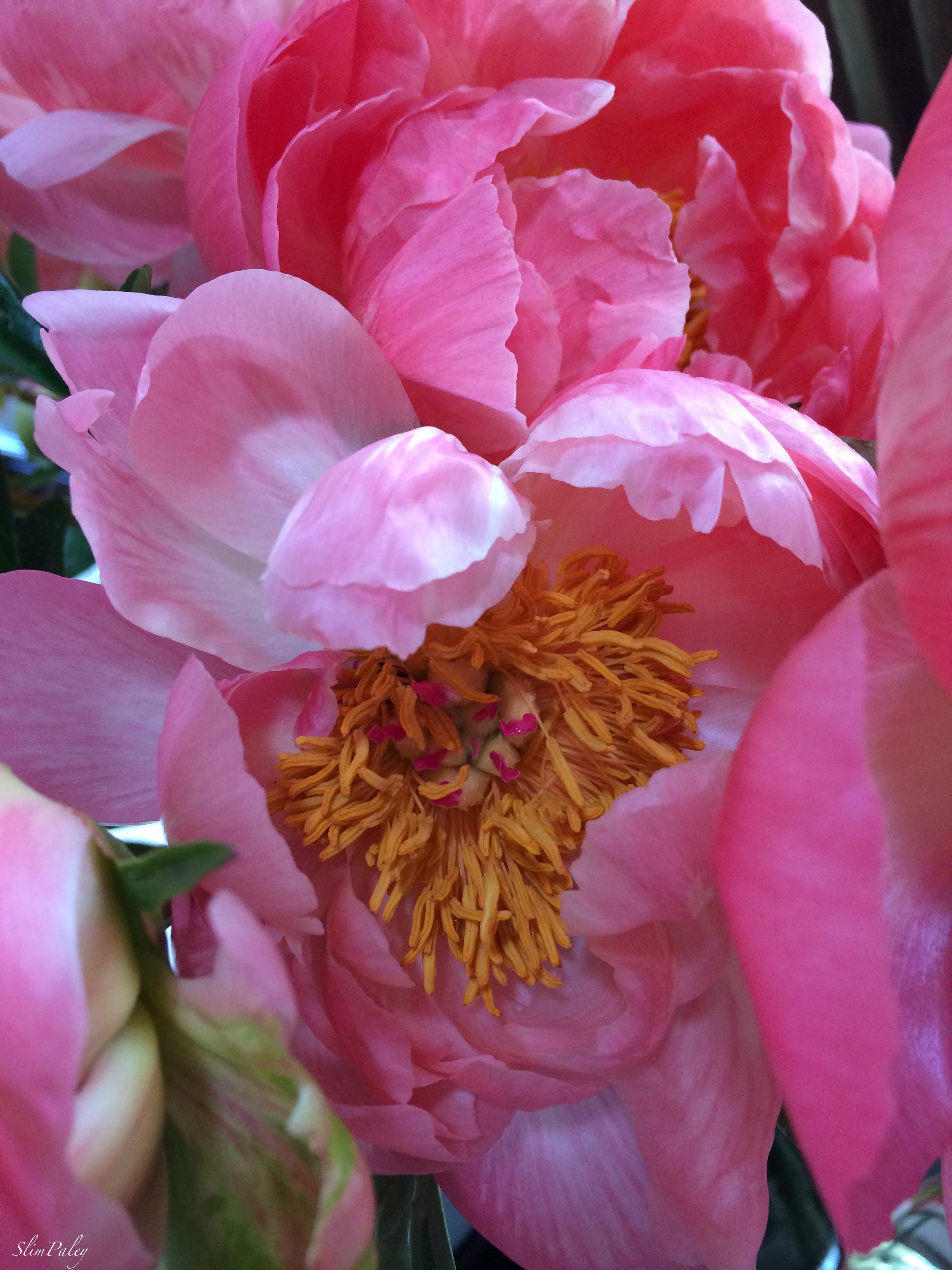pink peonies slimpaley