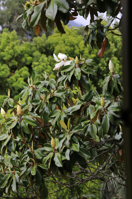 magnolia tree slimpaley