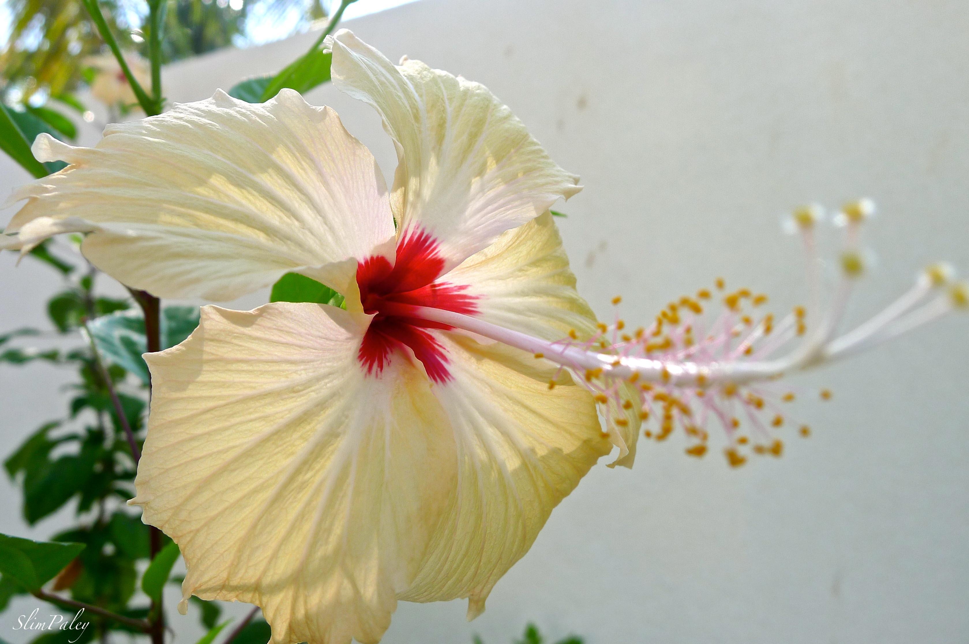 hibiscus slimpaley