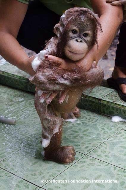 baby orangutan getting a bath