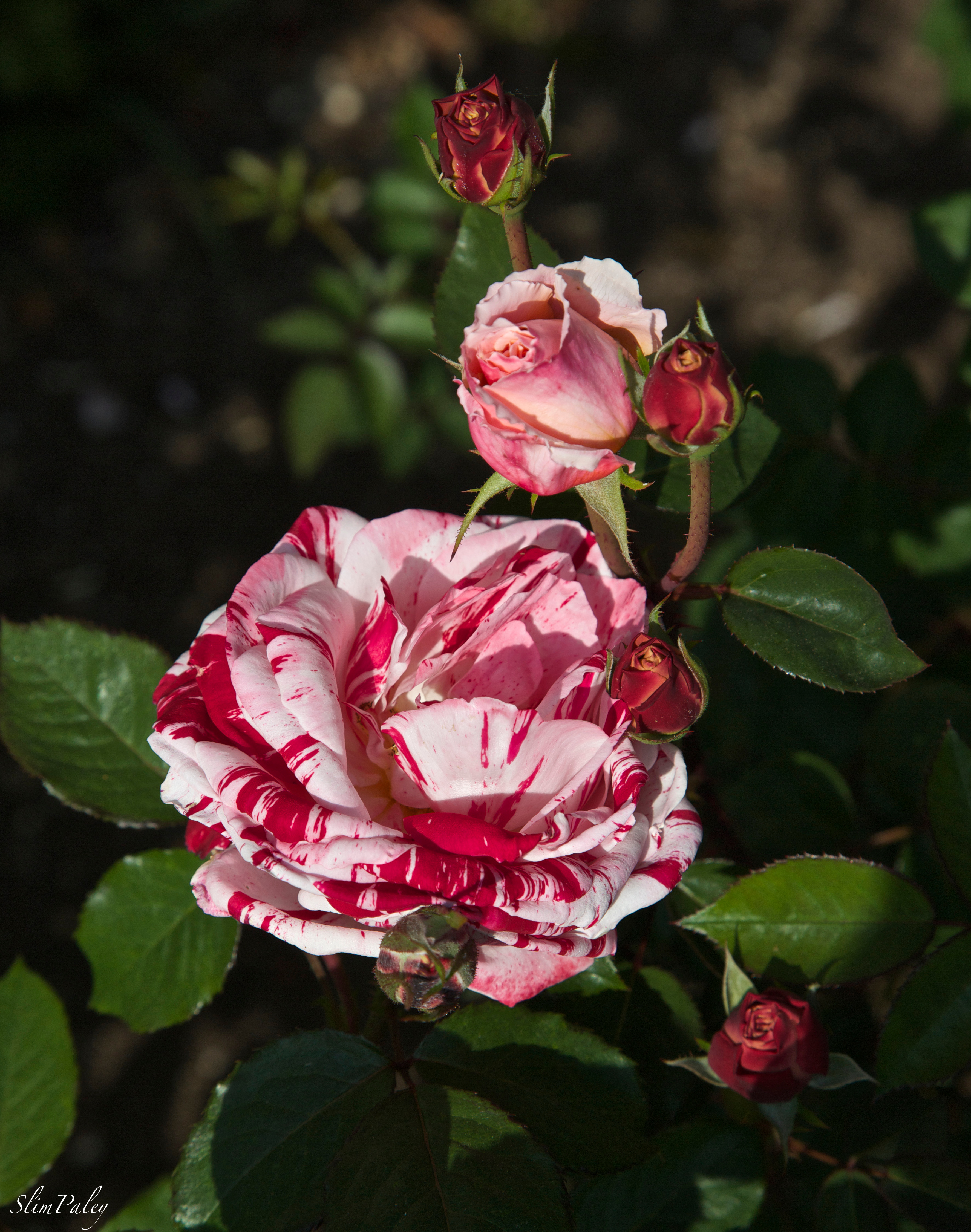 Red & white stripe rose, Slim Paley