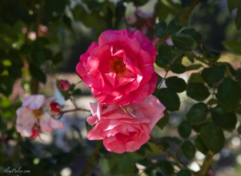 Summer Roses Slimpaley.com Carpinteria, CA