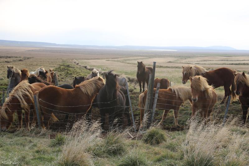 890A4236 Icelandic Horses 2