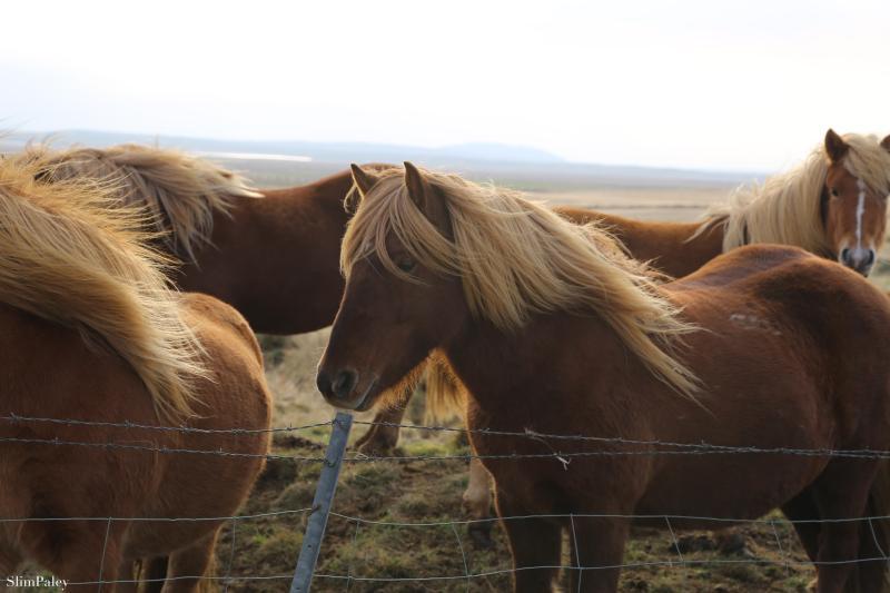 890A4242 Icelandic horses