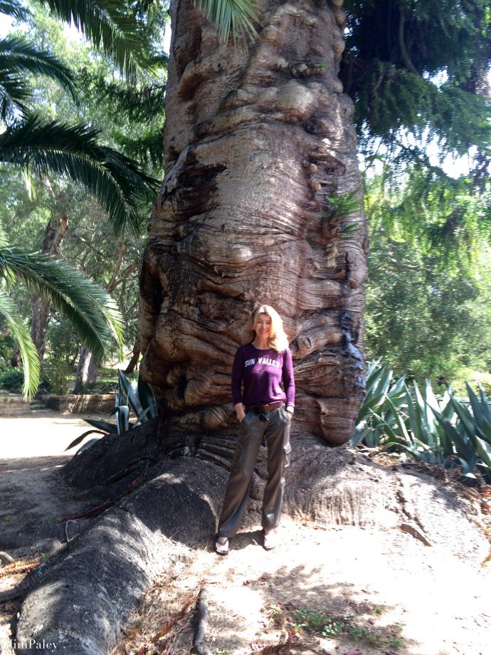 Bunya-Bunya tree, araucaria bidwillii IMG_9849